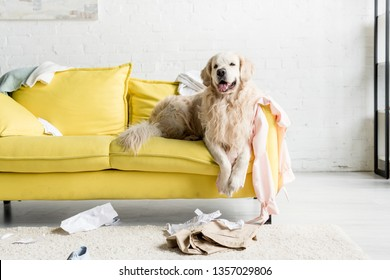 cute golden retriever lying on yellow sofa in messy apartment