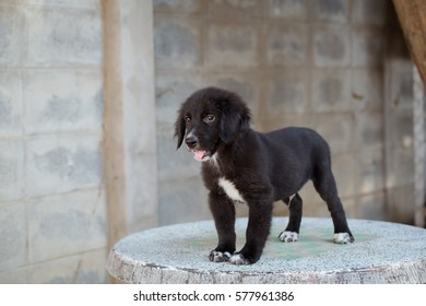 Cute Golden Retriever mix Labrador Retriever puppy stand on marble table.