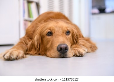 Cute golden retriever on the ground