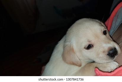 cute golden retriever pup hug on chest
