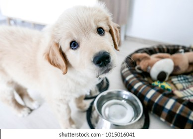 cute golden retriever puppy, asking for food with his puppy eyes