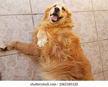 cute golden retriever puppy dog on tiled floor