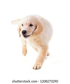 Royalty Free Golden Retriever Puppy Images Stock Photos Vectors