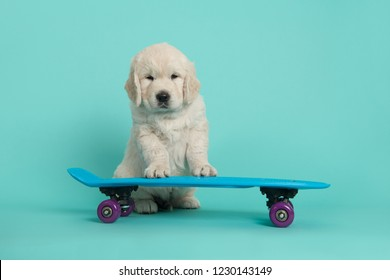 Cute golden retriever puppy looking at the camera leaning on blue skateboard on a turquoise blue background