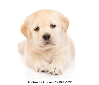 Cute Golden Retriever puppy looks at camera. isolated on white background