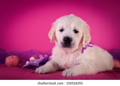 cute golden retriever puppy on a colored background