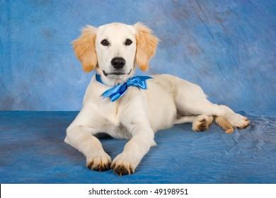 shutterstockのlinn currieさんの golden retriever puppies dogs セット