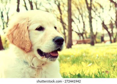Cute golden retriever puppy in the park at summer. Vintage picture.