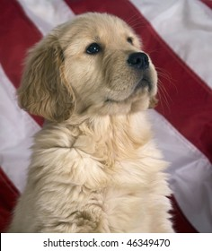 Cute Golden Retriever puppy sits proudly in front of an American flag.