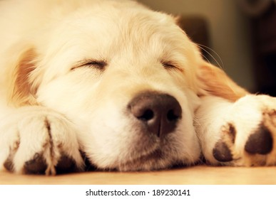 Cute golden retriever puppy taking a nap.