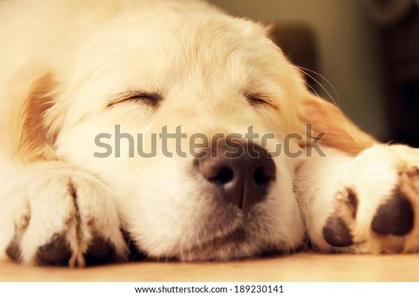 Cute golden retriever puppy taking a nap.