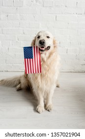 cute golden retriever sitting on floor and holding american flag