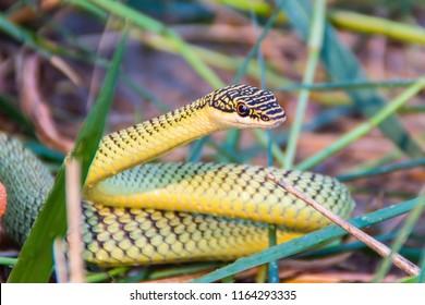 Cute golden tree snake (Chrysopelea ornata) is slithering on cluttered grass. Chrysopelea ornata is also known as golden tree snake, ornate flying snake, golden flying snake, found in Southeast Asia.