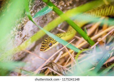 Cute golden tree snake (Chrysopelea ornata) is slithering on cluttered grass. Chrysopelea ornata is also known as golden tree snake, ornate flying snake, golden flying snake. Selective focus.