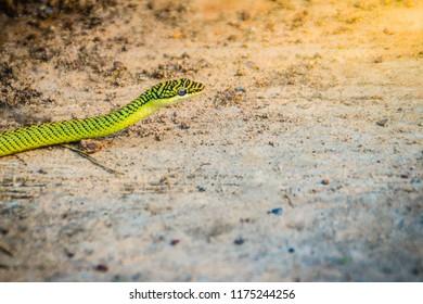 Cute golden tree snake (Chrysopelea ornata) is slithering on ground. Chrysopelea ornata is also known as golden tree snake, ornate flying snake, golden flying snake. Selective focus.