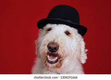 Cute goldendoodle dog with bowler hat portrait over red