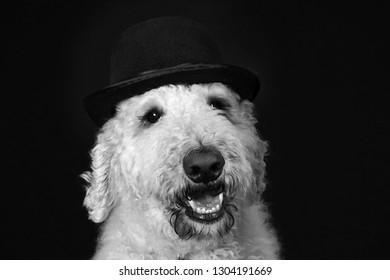 Cute goldendoodle dog with bowler hat portrait B&W