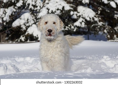 Cute goldendoodle dog playing in the cold snow