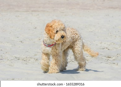 Cute Goldendoodle dog puppy on sand beach near sea. Beige colored doggy on similar color beige sandy seacoast. Goldendoodles are canine mix of Golden Retriever and Poodle.