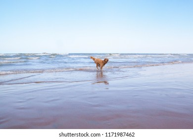 A cute Goldendoodle named Woody runs through breaking waves on the shore of wavy Lake Michigan on a sunny, blue sky day.
