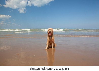 A cute Goldendoodle named Woody sits on the shore of a wavy Lake Michigan on a sunny, blue sky day.