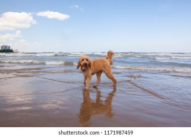 A cute Goldendoodle named Woody stands on the shore in front of a wavy Lake Michigan on a sunny, blue sky day.