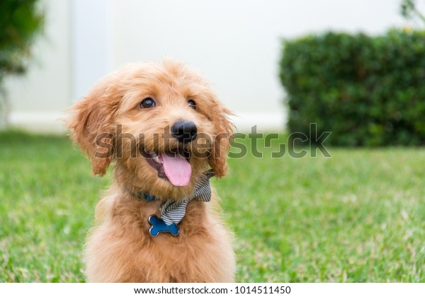 Cute Goldendoodle Puppy Bow Tie Sitting Stock Photo Edit