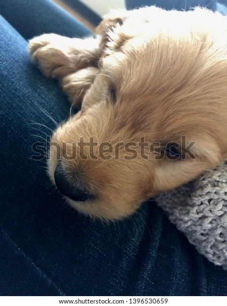 Cute Goldendoodle Puppy Close Stock Photo Edit Now 1396530659