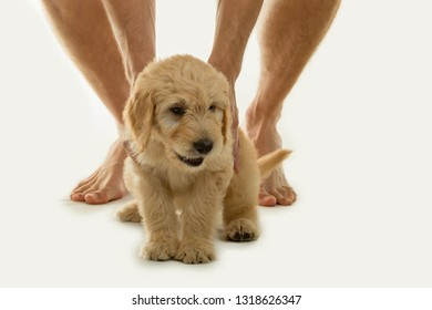 Cute goldendoodle puppy with a man's legs on a white backdrop