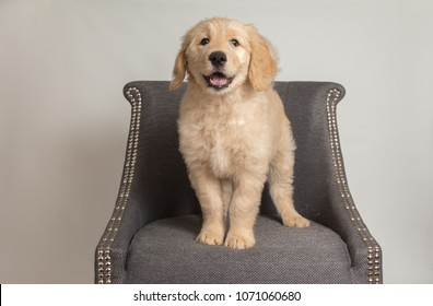 Cute Goldendoodle puppy on chair