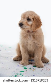 Cute goldendoodle puppy studio shot with a shallow depth of field and copy space