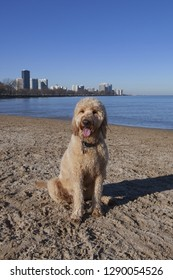 A Cute Goldendoodle sits on the sand in front of a Chicago skyline on the Lake Michigan shore at the Montrose Dog Beach
