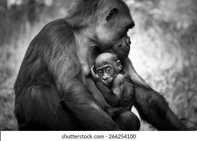 Cute gorilla baby