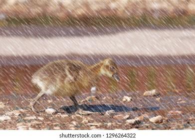 Cute gosling of greylag goose running in the rain.