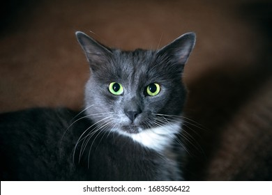 Cute gray cat with green eyes and long whiskers. Closeup portrait of a beautiful cat.