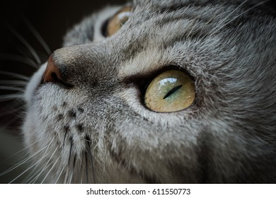 Cute gray cat look out the window.