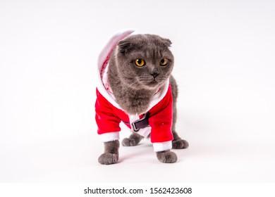 Cute gray cat in Santa's clothes