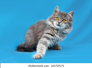 Cute gray cat sitting on blue background