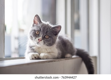 The Cute gray Kitten