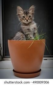 Cute gray kitten sitting in a flower pot