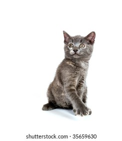 cute gray kitten sitting and looking up on white background