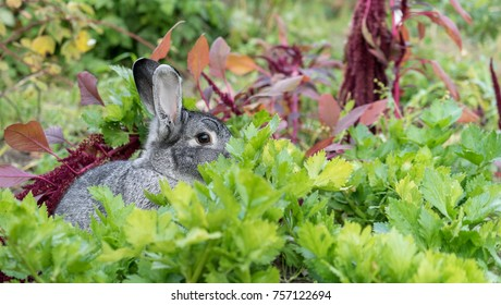 a cute, gray rabbit hides in the vegetable patch
