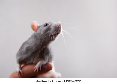 A cute gray rat eats cookies on a gray background.