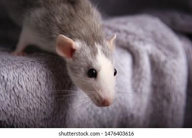 Cute gray rat. Rat on a sofa