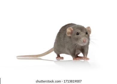 cute gray rat portrait on white isolated studio background