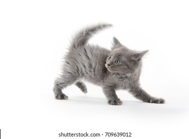 Cute gray scared kitten isolated on white background