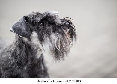 Cute Gray Schnauzer Profile Portrait On The Gray Background