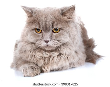 cute gray Scottish long-haired straight cat isolated on a white background