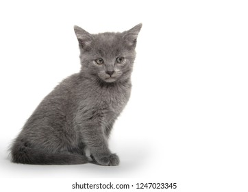 Cute gray shorthair kitten sitting isolated on white background
