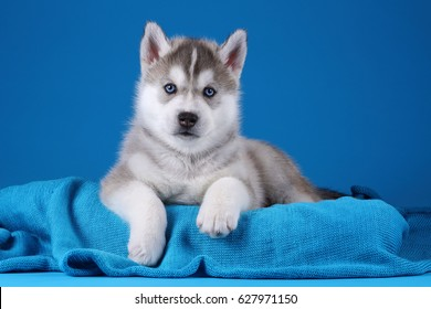 Cute gray Siberian husky puppy on a blue background